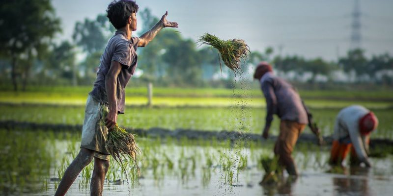 ethnic man cultivating green crops growing in flooded fields